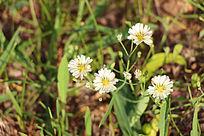 四朵野菊花