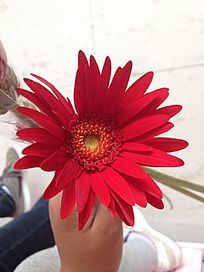 一朵红菊花