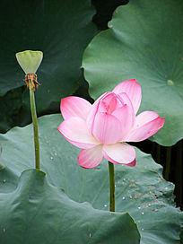 荷花和莲子