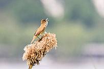 鸣叫的大苇莺