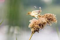 起飞的大苇莺