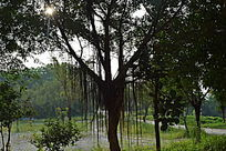 树木枝叶摄影