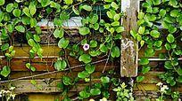 藤蔓植物叶子