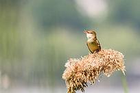 苇梢上的大苇莺