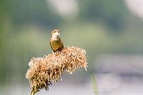 休憩的大苇莺