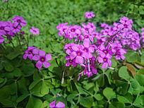 紫色五叶花