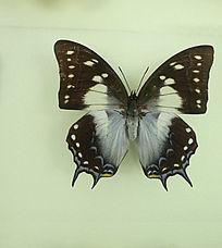 亚洲蝴蝶黑优雅蛱蝶标本