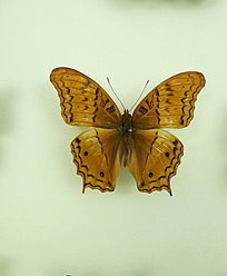 亚洲蝴蝶黄翅黑斑粉蝶标本