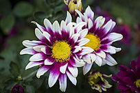 紫白相间的夏菊