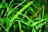 绿草中的雨滴