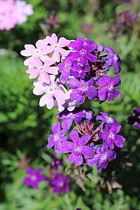 紫色粉色小花