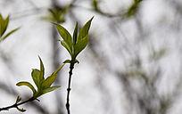 春天的树叶