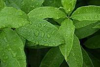 带有雨水的叶子图片