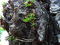 树瘤上的嫩芽