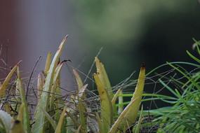 嫩草中间的芦荟