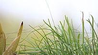 嫩绿的草苗