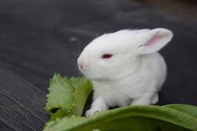 红眼睛的小白兔