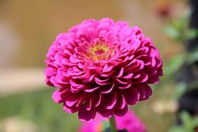 怒放的红色大丽菊
