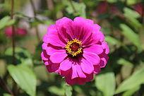 微距拍摄的大丽菊