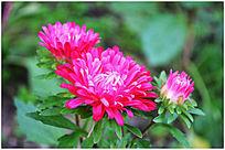 鲜艳的菊花