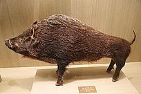 亚洲野猪标本