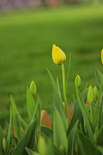 一朵黄色的郁金香花苞
