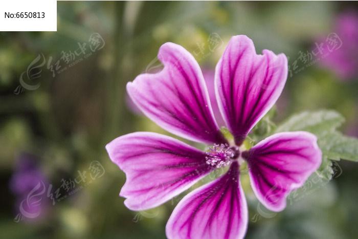 锦葵紫图片图片