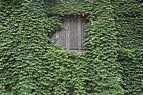 被爬山虎绿叶包围的古典木窗