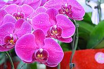 粉红蝴蝶兰