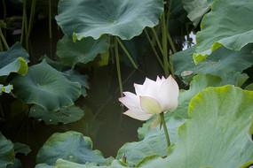 荷叶边的一朵白荷花