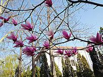 枝头紫玉兰