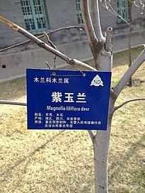 紫玉兰枝干