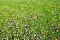 草丛中的迎春花