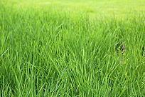 草坪前的绿草和小紫花