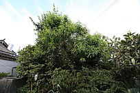 嫁接的多种植物水果树