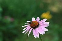 绿色背景下的小蜜蜂和天人菊花