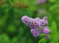 绿色背景下的紫金花花朵