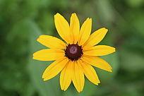 美丽的黄色花朵黑心菊花朵