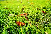 飘落在草丛中的红色叶子逆光照