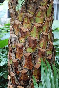 香蕉树树干