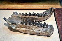 锥齿亚洲冠齿兽