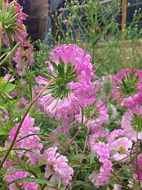 美丽的菊花丛