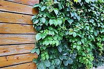爬满爬山虎的木板墙背景