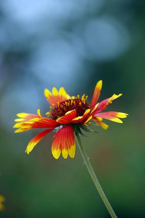 盛开的金边红色天人菊花