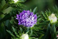 盛开的紫菊花