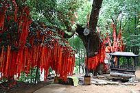 西施故里的许愿树