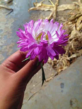一朵美丽的紫菊花
