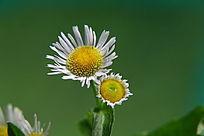 一朵小野花