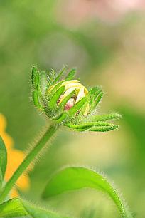 百日菊花蕾