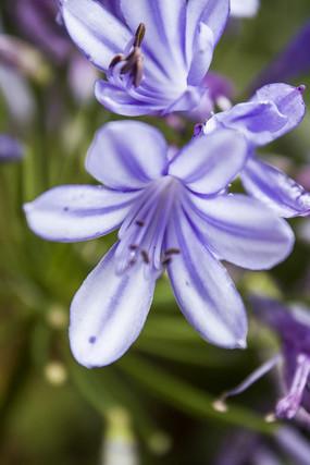 百子莲的花卉